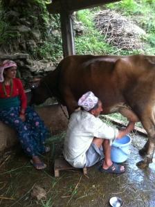 Kaladhar melkt de koeien