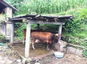 2 van de 4 koeien van Kaladhar