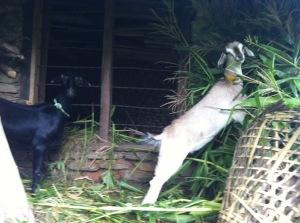 Twee geiten