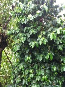 Een van de koffieplanten